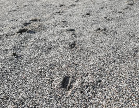 Cervo e volpe visitano il barefooting di Cascina Brero
